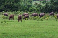 Asian Buffaloes Royalty Free Stock Images