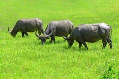 Asian buffalos Bubalus bubalis. Asian buffalos Bubalus bubalis in opened farmland Stock Photos