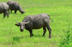 Asian buffalos Bubalus bubalis. Asian buffalos Bubalus bubalis in opened farmland Royalty Free Stock Image