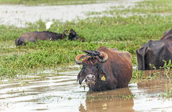 Asian Bulls Pasture Stock Images