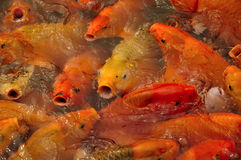 Asian Carp China Royalty Free Stock Image
