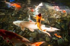Asian carp   swim in water pond Stock Photography
