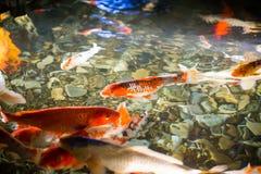 Asian carp   swim in water pond Royalty Free Stock Image