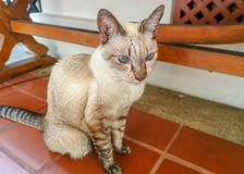 Asian cat creamy color look straight forward. Asian cat creamy color licking on fur, look straight forward beside camera, blurry background, unfocused Stock Images