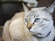 Asian Cat Portrait Royalty Free Stock Photography