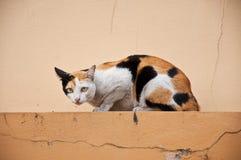 Asian cat Royalty Free Stock Image