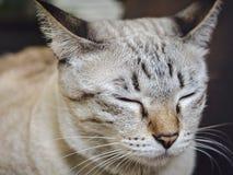 Asian cat sleeping Stock Images