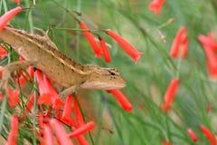 Asian chameleon Stock Photos