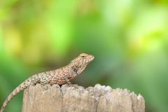 Asian chameleon sunbathe on stump in morning royalty free stock photo