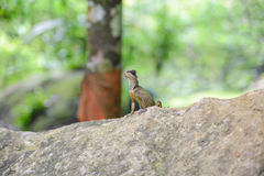 Asian chameleon type on the rock, animal Royalty Free Stock Photos