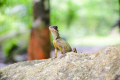 Asian chameleon type on the rock, animal Royalty Free Stock Images