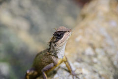 Asian chameleon type on the rock, animal Stock Photography