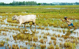 Asian child labor tend cow, Vietnam rice plantation Stock Images