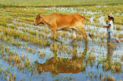 Asian child labor tend cow, Vietnam rice plantation Royalty Free Stock Image