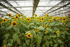 Asian China, Beijing, agriculture Carnival,Greenhouse cultivation, Ornamental Sunflower Stock Image