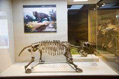 Asian China, Beijing, Museum of ancient animal,Indoor exhibition hall, fossil Stock Image