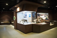 Asian China, Beijing, Museum of ancient animal,Indoor exhibition hall, fossil Royalty Free Stock Photo