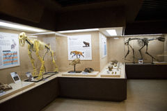 Asian China, Beijing, Museum of ancient animal,Indoor exhibition hall, Royalty Free Stock Image