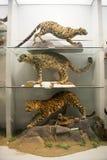 Asian China, Beijing, National Animal Museum�Animal specimens Royalty Free Stock Photos