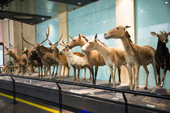 Asian China, Beijing, National Animal Museum Royalty Free Stock Image
