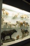 Asian China, Beijing, National Animal Museum Stock Photo