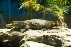 Asian Chinese, Beijing, the zoo, the crocodile Royalty Free Stock Images