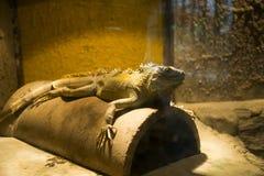 Asian Chinese, Beijing, the zoo, the lizard Stock Photo