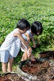Asian Chinese Little Sisters digging purple potato in organic farm. Outdoor royalty free stock photo