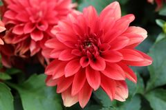 Red Dahlia pinnata Cav in Garden. Asian Chinese Style Garden with pretty red Dahlia pinnata Cav can be found in China, Asia Royalty Free Stock Images