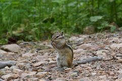 Asian Chipmunk Tamias sibiricus sits and eats on a forest trail, on a summer day. Wild animal. Asian Chipmunk Tamias sibiricus sits on a forest trail, on a Stock Photo