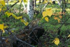 Asian Chipmunk (Tamias sibiricus) Stock Images