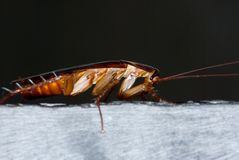 Asian cockroach royalty free stock photography