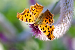 Asian Comma. With Celosia argentea Royalty Free Stock Photography