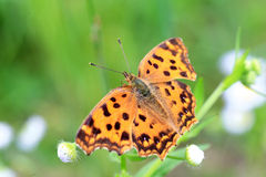 Asian Comma butterfly Royalty Free Stock Photography