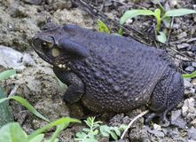 Asian common toad Stock Images