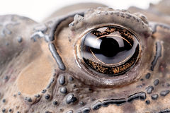 Asian common toad Royalty Free Stock Photo
