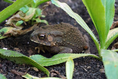Asian Common Toad Royalty Free Stock Photos