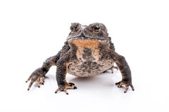 Asian common toad Royalty Free Stock Images