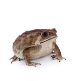 Asian common toad on white background Stock Photography