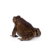 Asian common toad on white background. Asian common toad, Duttaphrynus melanostictus, isolated on white background Stock Images