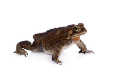 Asian common toad on white background Royalty Free Stock Photo