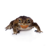 Asian common toad on white background. Asian common toad, Duttaphrynus melanostictus, isolated on white background Stock Photos