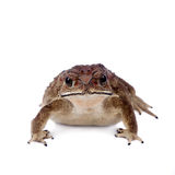Asian common toad on white background Royalty Free Stock Photography
