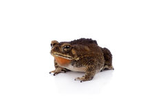 Asian common toad on white background Royalty Free Stock Images