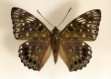 Asian constable butterfly. Dichorragia nesimachus isolated Stock Photos