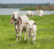 Asian cow Royalty Free Stock Photos
