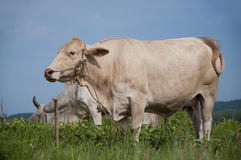 Asian cow Stock Photography