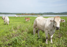 Asian cow Royalty Free Stock Photo