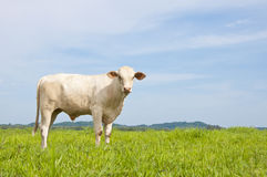 Asian cow Stock Photos