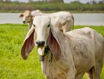 Asian cow Royalty Free Stock Photos